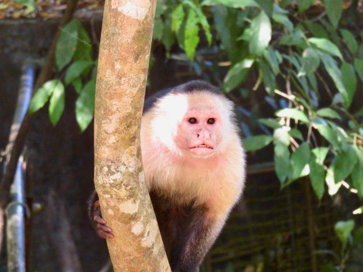 Monkey on Coiba tour near Santa Catalina Panama; Panama Travel Blog Inspirations