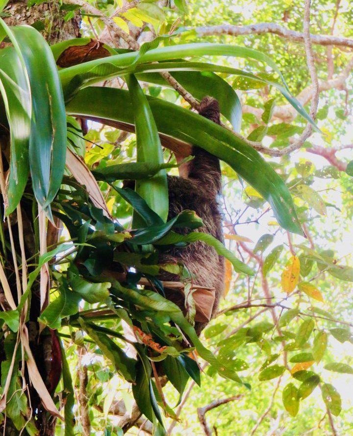 Chilling Sloth on Bocas del Toro Panama; Panama Travel Blog Inspirations