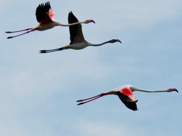 Three flying flamingos in West Sardinia, Sardinia Travel Blog Inspirations