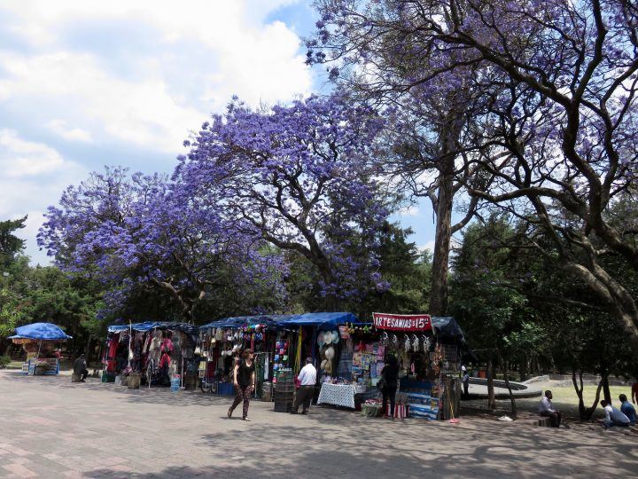 Bosque Purple trees in Mexico City, Mexico Travel Blog Inspirations