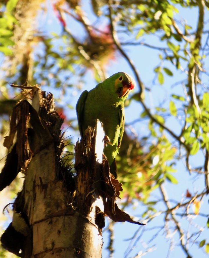 Red-Lored Parrot at the archaeological site Tikal Guatemala, Guatemala Travel Blog