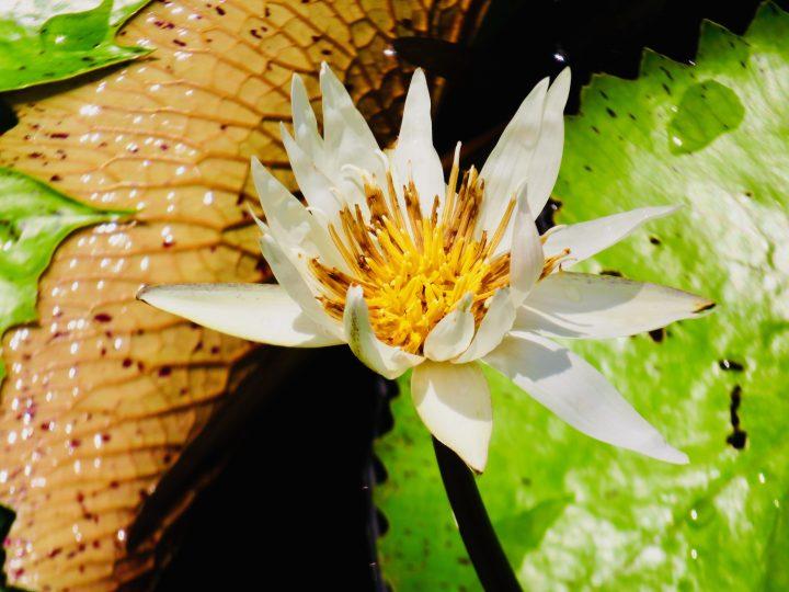 Waterlily Rio Dulce Guatemala, Guatemala Travel Blog