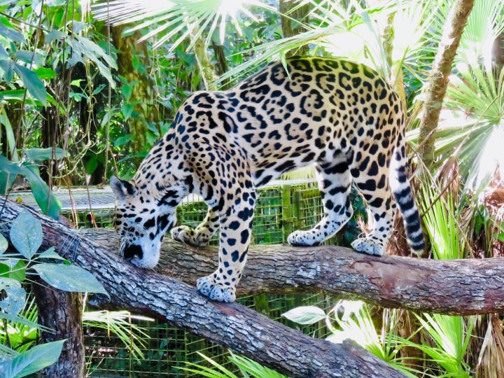 Jaguar at the Belize Zoo in Belize, Belize Travel Blog