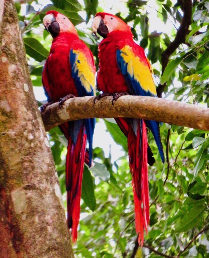 Archaeological site Macaw birds at the Copán Ruinas Honduras, Honduras Travel Blog
