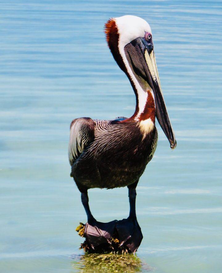 Pelican close up at Caye Caulker Belize, Belize Travel Blog