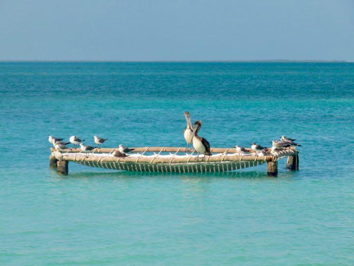 Pelicans in Belize, Belize Travel Blog