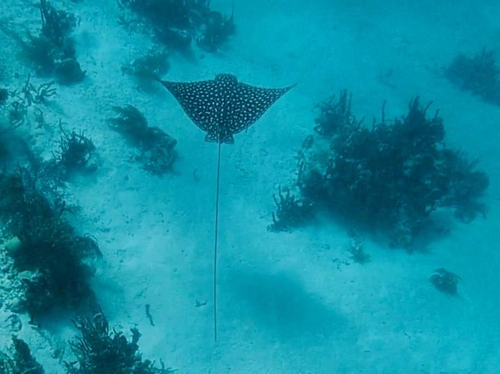 Spotted Ray Go Pro shot during Sailing tour Raggamuffin Belize, Belize Travel Blog
