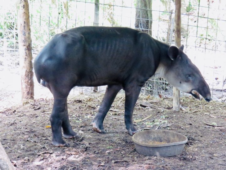 Tapir at the Belize Zoo in Belize, Belize Travel Blog