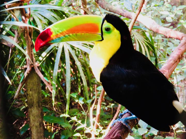 Toucan at the Belize Zoo in Belize, Belize Travel Blog