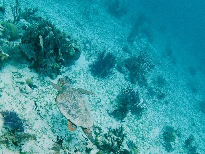 Swimming with turtle during Sailing tour Raggamuffin Belize, Belize Travel Blog