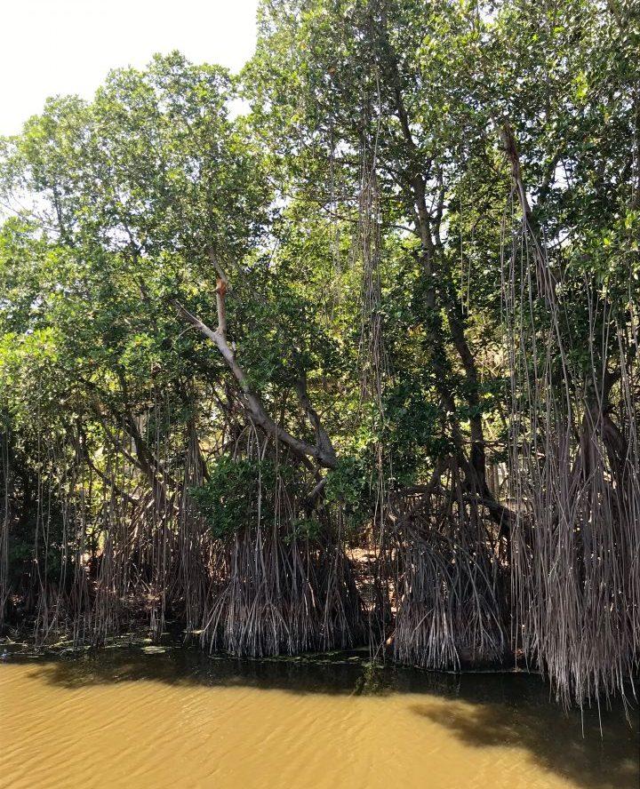 Mangrove in El Tunco El Salvador, El Salvador Travel Blog