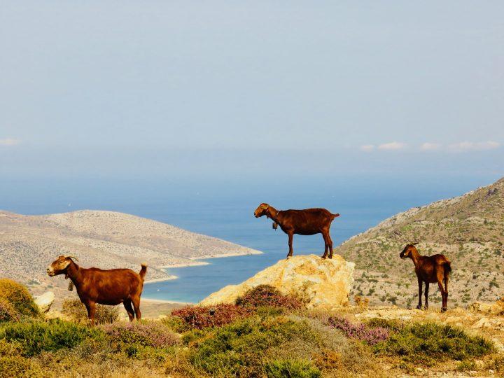 Goats and views Ios island Greece, Greek Cyclades Travel Blog