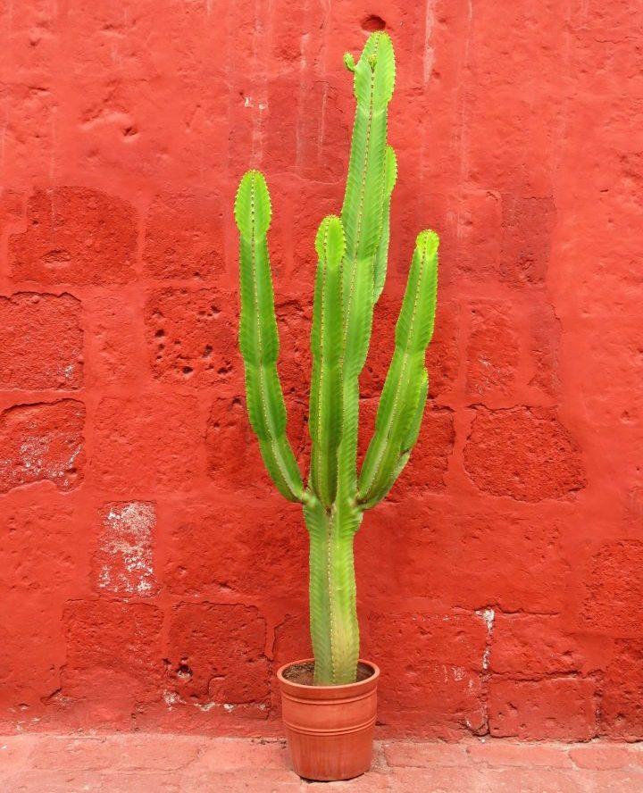 Decorative Cactus in Arequipa Peru, Travel Blog Peru