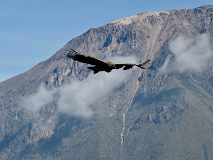 Close up from flying Condor at Colca Canyon Arequipa Peru, Travel Blog Peru