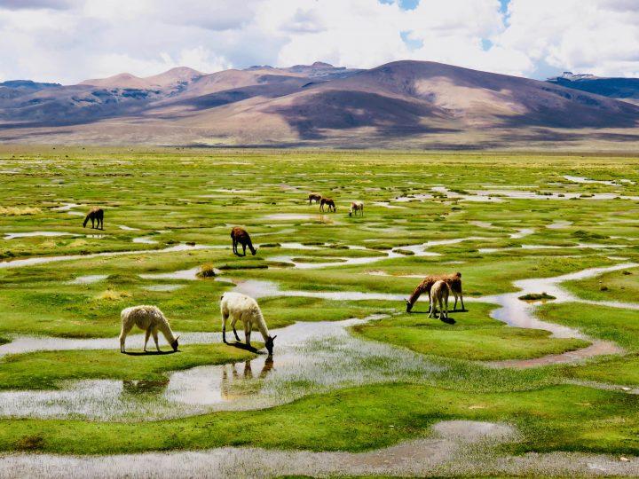 Pampas with lamas Arequipa Peru, Travel blog Peru