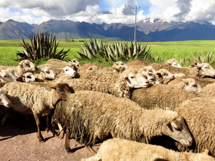 Sheeps Sacred Valley Peru, Travel Blog Peru
