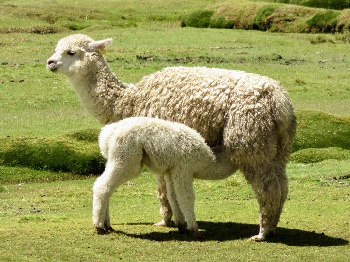 Lama and young in Peru, Route Peru Travel Blog