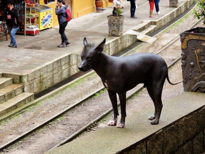 Peruvian dog, in blog Route Peru Travel Blog