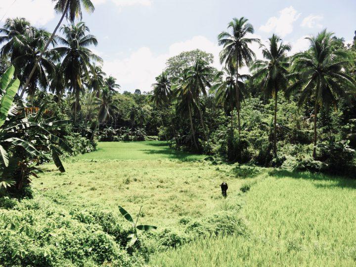 Travel Rice field on Bohol Philippines Travel Blog