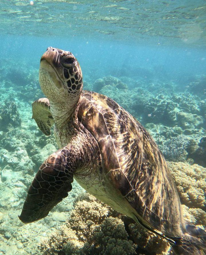 Turtle at Apo Island near Siquijor Philippines Travel Blog